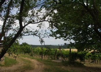Pécselyen, domboldalban 3365 m2-es telek szőlővel eladó. A tulajdono… 1